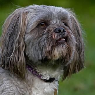 Portrait of Lhasa Apso, domestic pet. Originated in Tibet