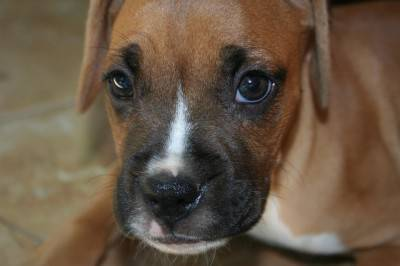 boxer-449954_640