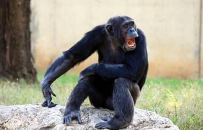 chimpanzee.