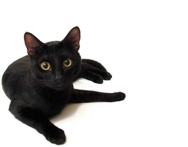 gatto nero4