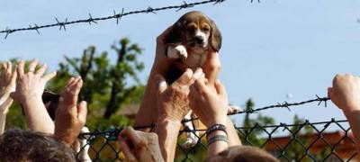 Un cucciolo di Beagle viene salvato da alcuni animalisti entrati nell'allevamento Green Hill di Montichiari, Brescia, 28 aprile 2012. I cani Beagle sono allevati a Montichiari e destinati alla vivisezione. ANSA/FILIPPO VENEZIA