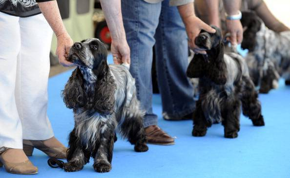 Cocker spaniels are presented during the
