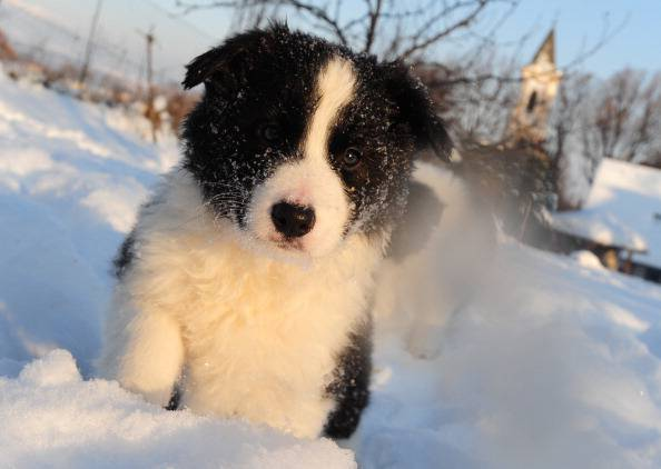 Seven-week old Border Collie puppys pla