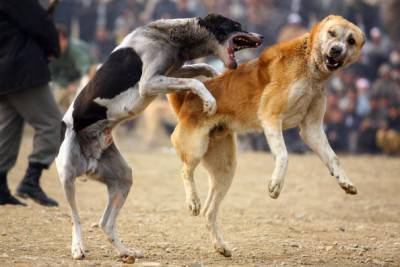 KABUL, AFGHANISTAN - DECEMBER 11:  Afghan spectators watch as two fighting dogs attack each other during the weekly dog fights on December 11, 2009 in Kabul, Afghanistan. Dogfighting is facing a resurgence after it was banned under the Taliban for being un-Islamic. (Photo by Majid Saeedi/Getty Images)