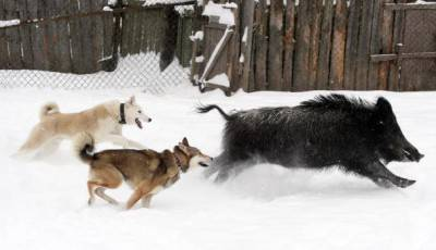 Two dogs attack a wild boar at a kennel