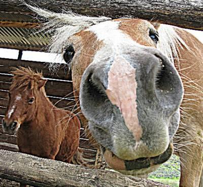 cavalo curioso
