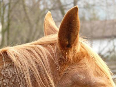 oreccchie cavallo