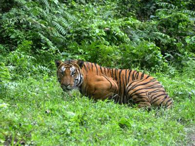 In this photograph taken on December 21, 2014, a Royal Bengal Tiger pauses in a jungle clearing in Kaziranga National Park, some 280kms east of Guwahati.   Kaziranga was declared a Tiger Reserve in 2006 and has the highest density of tigers in the world (one per five sqkm), with a population of 118, according to the latest census by the government of Assam.  AFP PHOTO/STR        (Photo credit should read STRDEL/AFP/Getty Images)