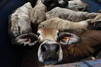 Cattle Imports Arrive in Indonesia After New Agreement With Australia
