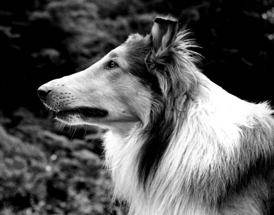 Lassie_1942