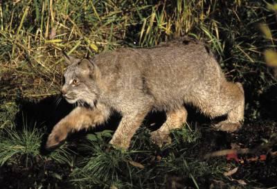 Lynx-canadensis