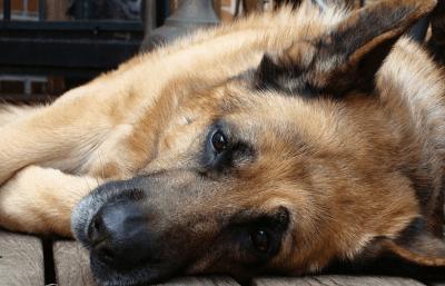 Prevenire la Leishmaniosi: la malattia infettiva più temuta nel cane
