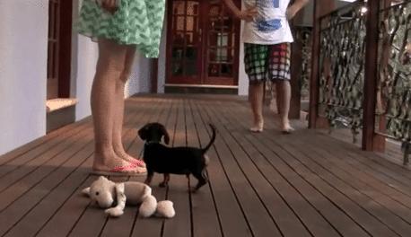 Un Cucciolo Di Bassotto Con Un Grande Coraggio Video