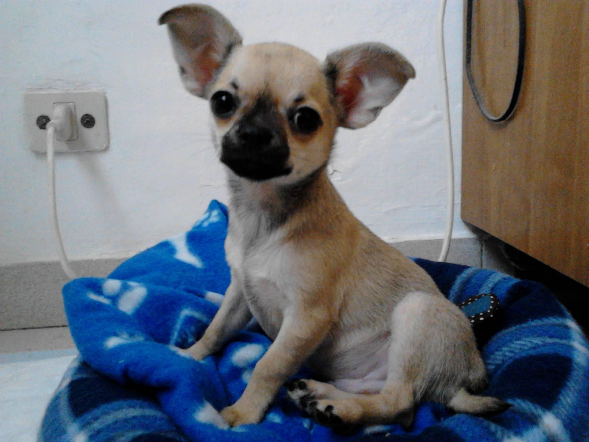 Trucchetti per vivere meglio con il cane for Pincher volpino