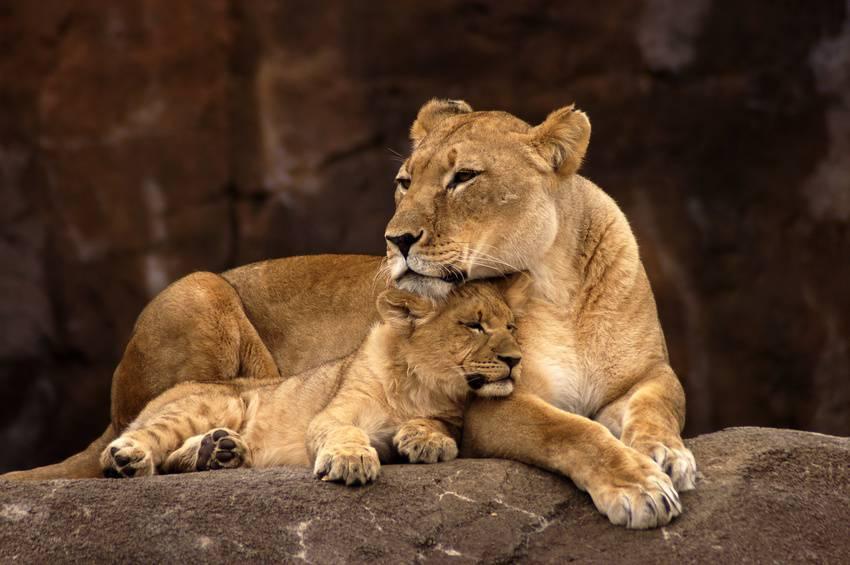 Come una leonessa difende il suo cucciolo video for Immagini leone hd