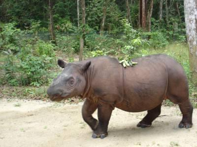 rinoceronte sumatra
