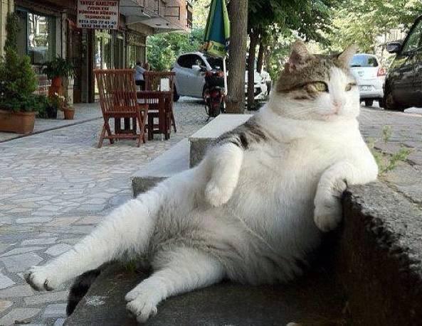 il gatto grasso perde pesoa