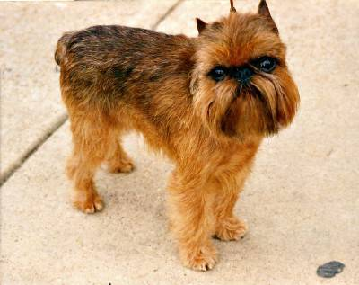 Brussels_Griffon_Rembrant_(jpg_format)