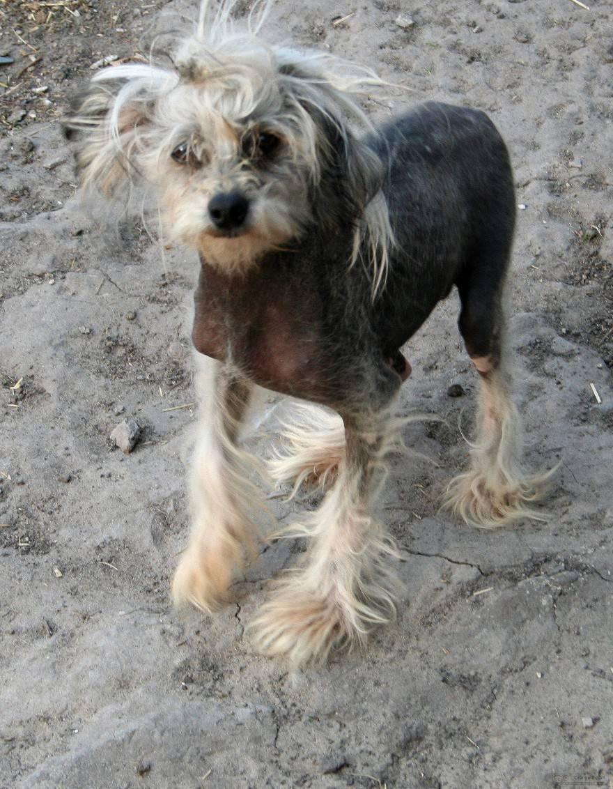 Cane nudo cinese senza peli