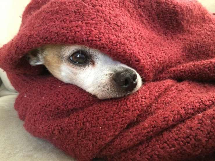 temperatura cane freddo