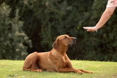 comandi cane