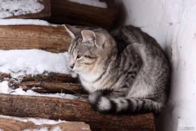 Il gattino grigio si congela in legno di inverno