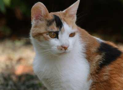gattotricolore