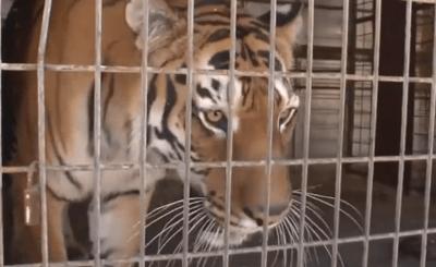 tigre varvara