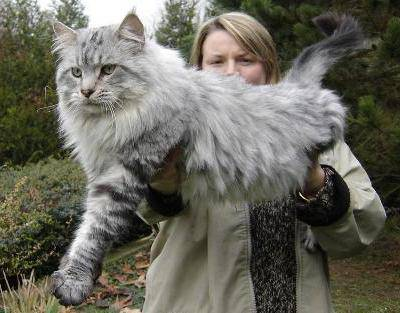 Maine coons-Stewie