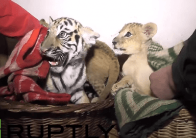 cuccioli leoni
