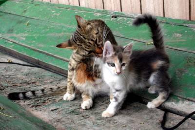 gatto che lecca gattino