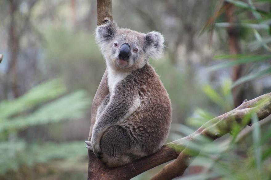 animale guida koala