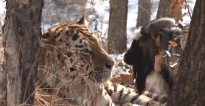 tigre capra