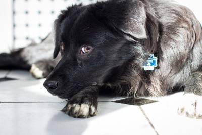cane nero