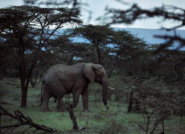 elefante significato