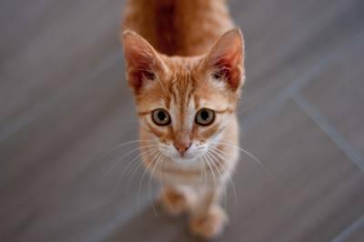 gatto rosso