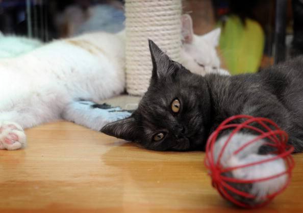 tipiche mosse del gatto che gioca