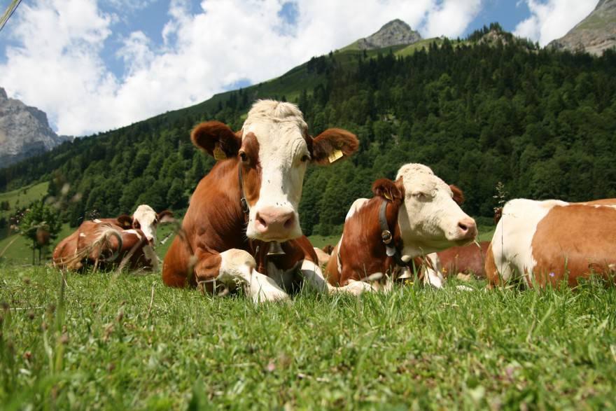 animale guida mucca