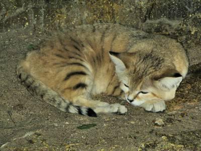 Gatto della sabbia @Wikipedia