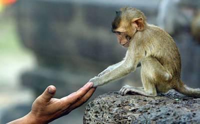scimmia cappucino