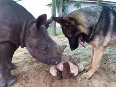 cane rinoceronte
