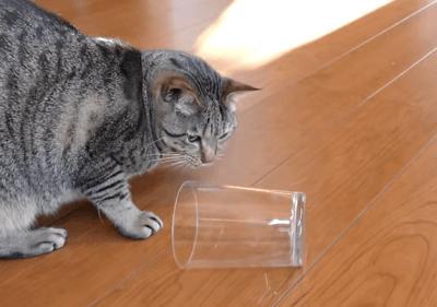 gatto mancino
