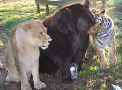 tigre leone orso. 1