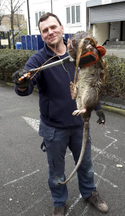 """James Green with the giant rat. Pest controllers in London have their work cut out for them after a group of men discovered an enormous rat. . See swns story SWRAT. Gas engineer Tony Smith, 46, spotted the rat while working at a block of flats near Hackney Downs, north London on Thursday. The rodent, which was found dead, was discovered near a playground which backed onto a railway track. Tony snapped a picture of the rat being held by electrician friend James Green, 46, to the glee and disgust of his friends. Tony said: """"This is the largest rat I've ever seen in my entire life.""""I've got a cat and a Jack Russell and it was bigger than both of those. I'd say it was about four foot."""