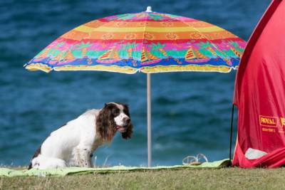 NEWQUAY, UNITED KINGDOM - AUGUST 06: A dog shelters under a sun shade as people gather on Fistral Beach on the first day of the Boardmasters surf and music festival in Newquay on August 6, 2014 in Cornwall, England. Since 1981, Newquay has been playing host to the Boardmasters surfing competition - which is part of a larger five-day surf, skate and music festival and has become a integral part of the continually popular British surf scene growing from humble beginnings, to one of the biggest events on the British surfing calendar. It now attracts professional surfers from across the globe to compete on the Cornish beach that is seen by many as the birthplace of modern British surfing. (Photo by Matt Cardy/Getty Images)
