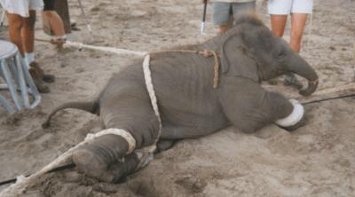 cuccioli elefanti