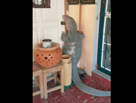 Lucertola gigante tenta di entrare in una casa per - Entrare in una porta ...