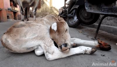 vitello ferito