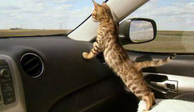 gatto che viaggia