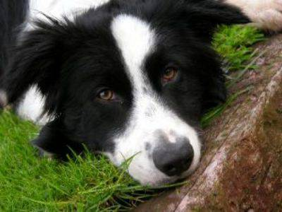 border-collie-jed_2473866